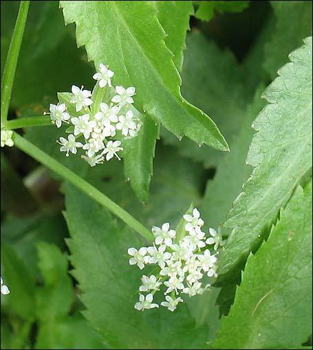 Les fleurs comestibles pour une cuisine color e et pleine - Que faire avec les feuilles de celeri ...