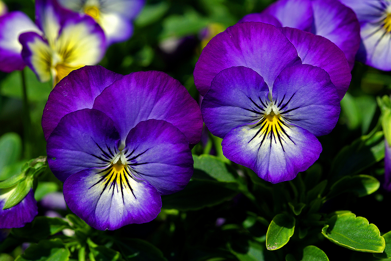 Les fleurs comestibles pour une cuisine color e et pleine for Les fleur